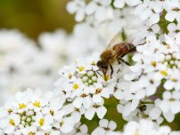 Sarah Marchant: Macro of a honey bee takes pollen from small white candytuft flowers