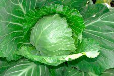 : Fresh organic cabbage