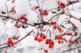 : Rowan berries in the snow